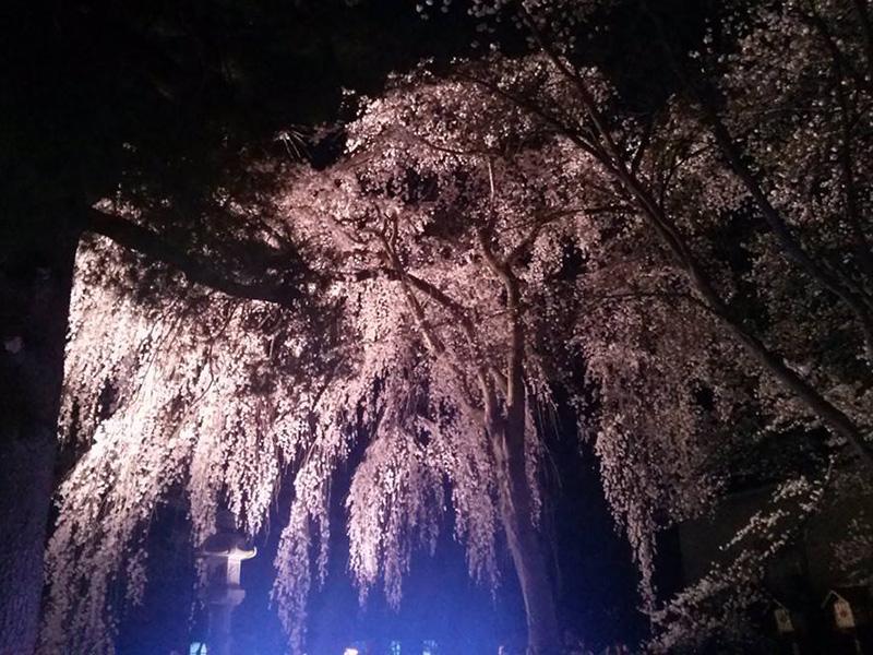 夜桜では光り輝く写真がインパクトあり